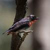 Mistletoebird,male_2403_m