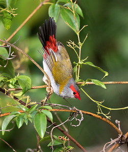 Red-browed Finch - 4364