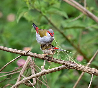 red-browed finch,mating - 1120