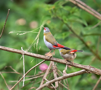 Red-browed Finch - 1107