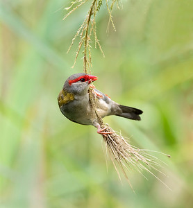 red-browed Finch - 1705