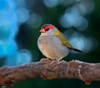 Red-browed Finch - 5850