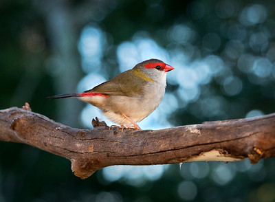Red-browed Finch - 5851