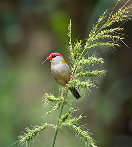 Red-browed Finch - 1686