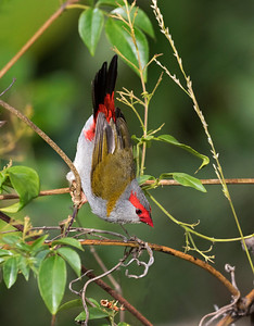 Red-browed Finch - 4365