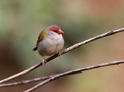 Red - browed Finch - 8253