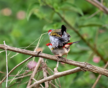 Red-browed Finch - 1117