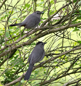 Gray Catbirds in Bush
