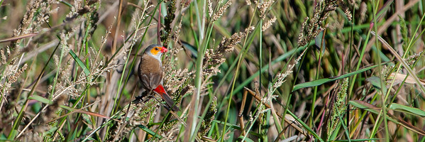 Orange-cheeked Waxbill (Estrilda melpoda)