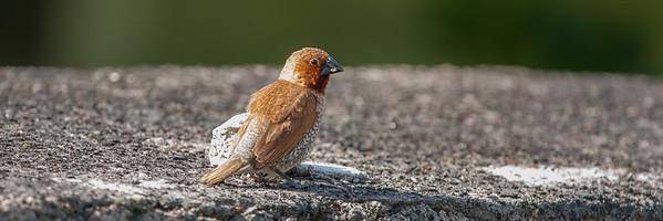 Nutmeg Mannikin (Lonchura punctulata)