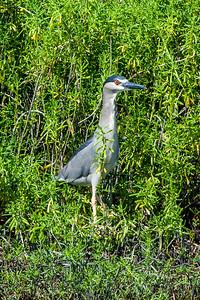 Black-crowned Night-heron or Auku'u (Nycticorax nycticorax)