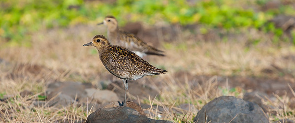 Pacific Golden Plovers or Kolea (Pluvialis fulva)