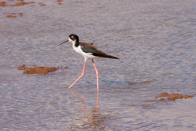 Hawaiian Stilt (Himantopus mexicanus knudseni)