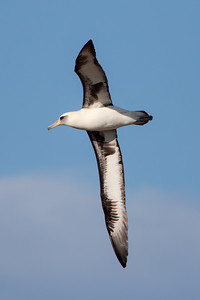 Laysan Albatros (Phoebastria immutabilis)