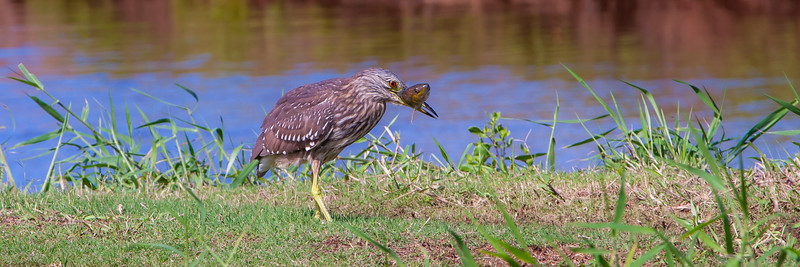 Black-crowned Night-heron (Aukuu) (Nycticorax nycticorax)