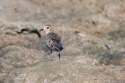 Pacific Golden Plover or Kolea (Pluvialis fulva)