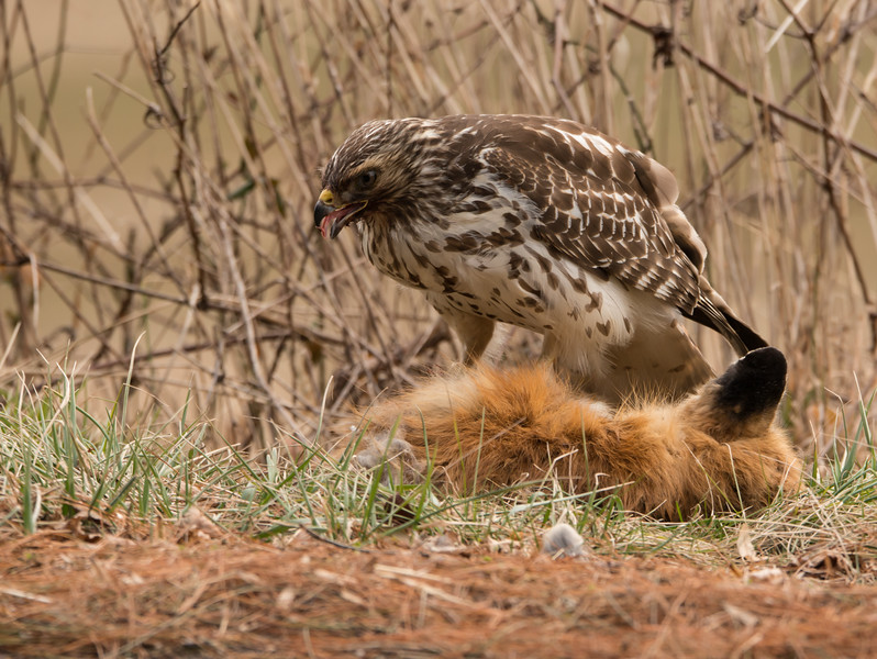 Red tailed Hawk eating red fox carcass