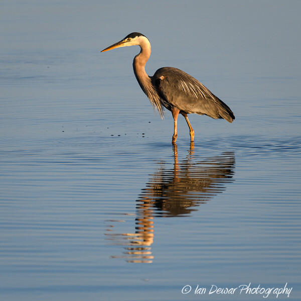 Great Blue Heron in calm water