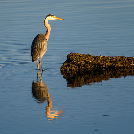 Great Blue Heron in mirrored water