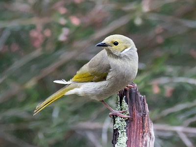White-plumed Honeyeater_6930