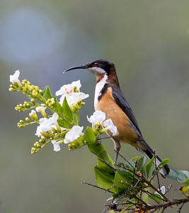 Eastern Spinebill_8227