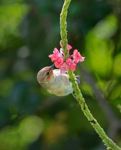 Scarlet Honeyeater - 1235
