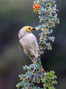 White-plumed Honeyeater - 7136