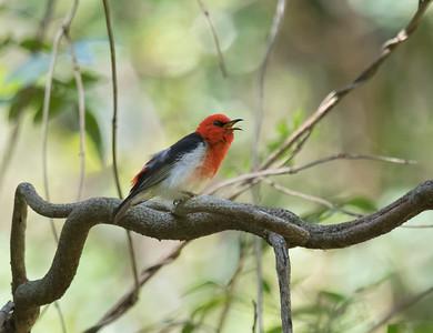Scarlet Honeyeater - 3233