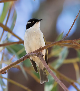 White-throated Honeyeater - 3562