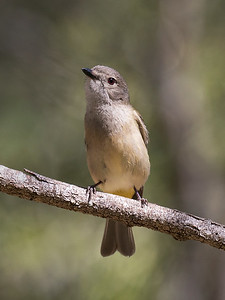 Golden Whistler,female_9327