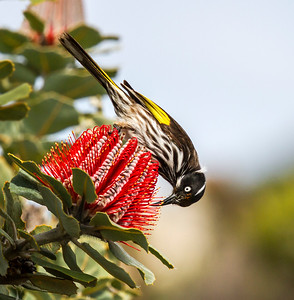 New Holland Honeyeater - 6050