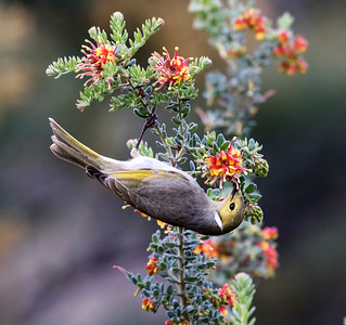 White-plumed Honeyeater - 7145