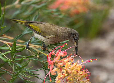 Brown Honeyeater - 2625