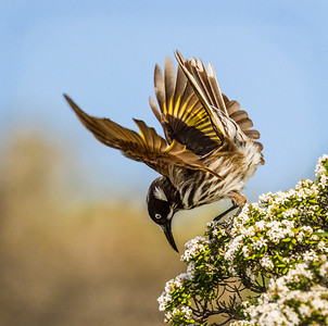 New Holland Honeyeater_8451