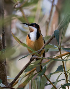 Eastern Spinebill - 3627