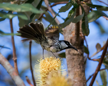 White-cheeked Honeyeater - 3613