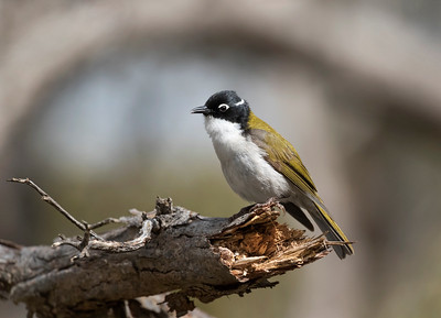 Gilbert's Honeyeater - 7027