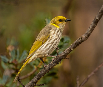 Yellow-plumed Honeyeater - 3108