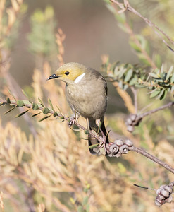 White-plumed Honeyeater_7543