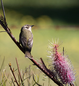Brown-headed Honeyeater_7311