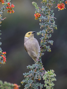 White-plumed Honeyeater_7137