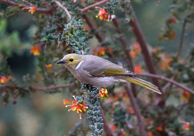 White-plumed Honeyeater - 9803