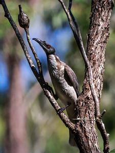 Noisy Friarbird_211a
