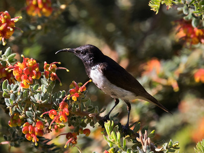 Black Honeyeater - 8773