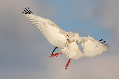 Ibis - Sponbills - Storks
