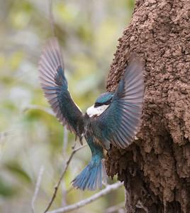Sacred Kingfisher_1576