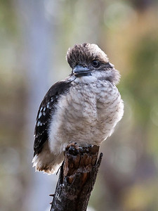 Laughing Kookaburra,fledgling_077