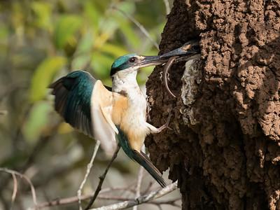 Sacred Kingfisher_1861a