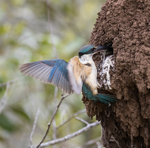 Sacred Kingfisher_1565