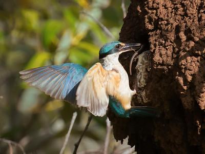 Sacred Kingfisher_1851a